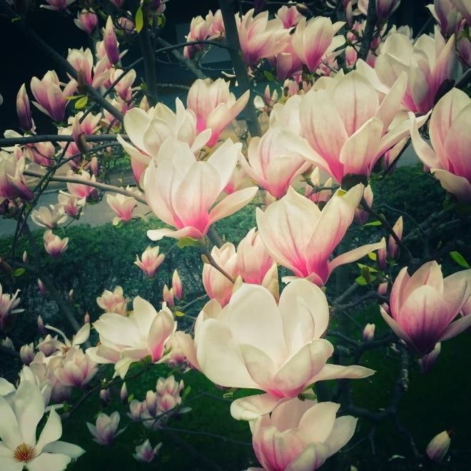 magnolia soulange