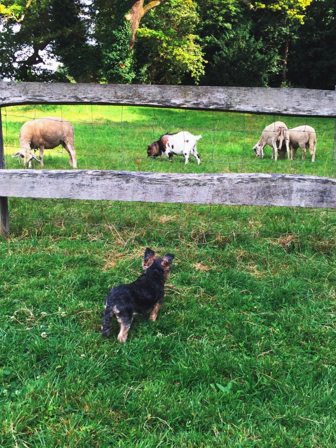 yorshire dog looking at sheeps